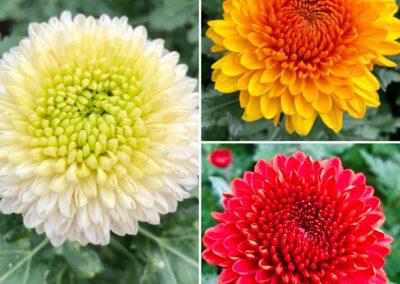 Prächtige Chrysanthemen aus eigenem Anbau